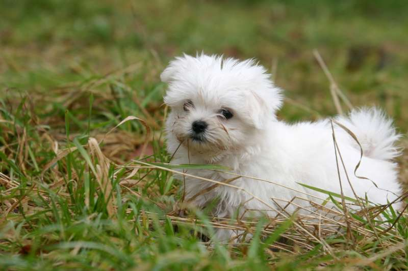 mini maltezer pups